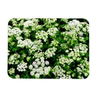 Field of Queen Anne s Lace Rectangular Magnet