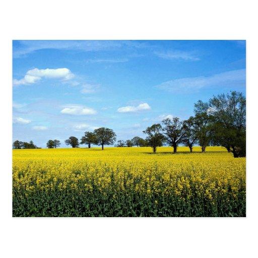Field of rape, Surrey, England Postcards