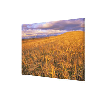 Field of Ripening Barley along the Rocky Canvas Print