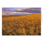 Field of Ripening Barley along the Rocky Card