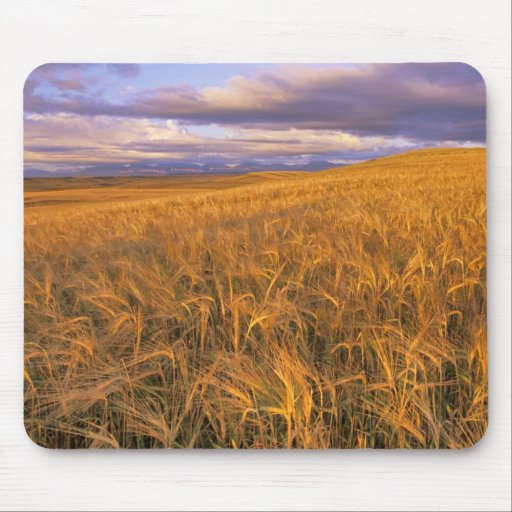 Field of Ripening Barley along the Rocky Mouse Pad