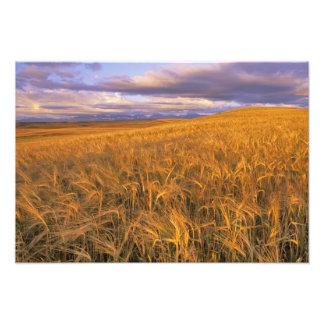 Field of Ripening Barley along the Rocky Photo Print