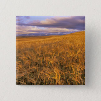 Field of Ripening Barley along the Rocky Pinback Button