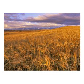 Field of Ripening Barley along the Rocky Postcard