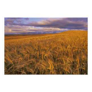 Field of Ripening Barley along the Rocky Poster
