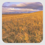 Field of Ripening Barley along the Rocky Square Sticker
