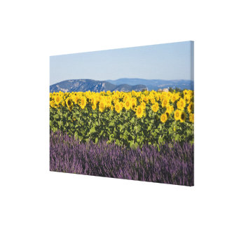 Field of sunflowers and lavender flowers, canvas print