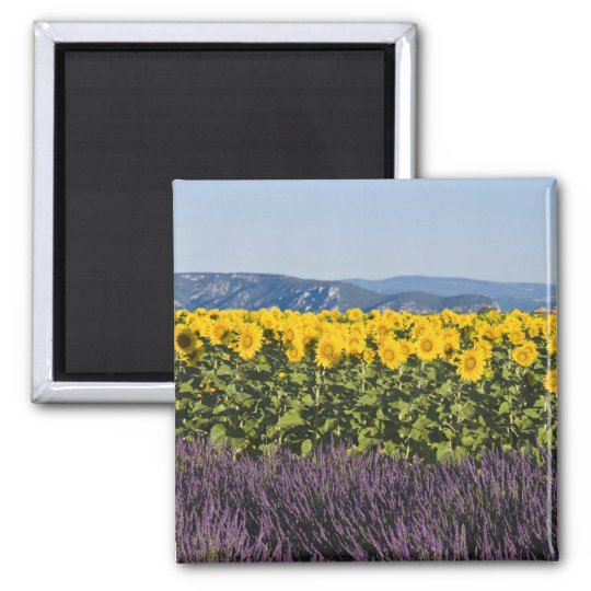 Field of sunflowers and lavender flowers, magnet