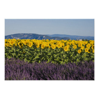 Field of sunflowers and lavender flowers, posters