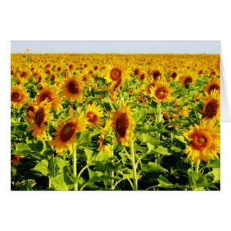 Field of Sunflowers Cards