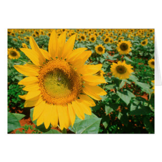 Field Of Sunflowers. Heidleberg District Card