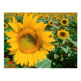 Field Of Sunflowers. Heidleberg District Postcard