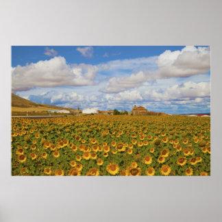 Field of sunflowers Helianthus annuus Poster
