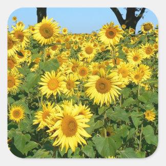 Field of sunflowers square sticker