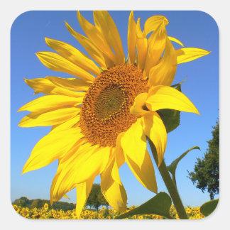 Field Of Sunflowers, Sunflower Square Sticker