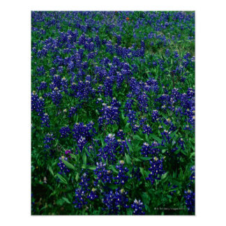 Field of Texas Bluebonnets Poster