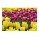 Field of Tulips Post Cards