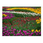 Field of Tulips Postcards