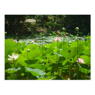 Field of Water Lilies Postcard