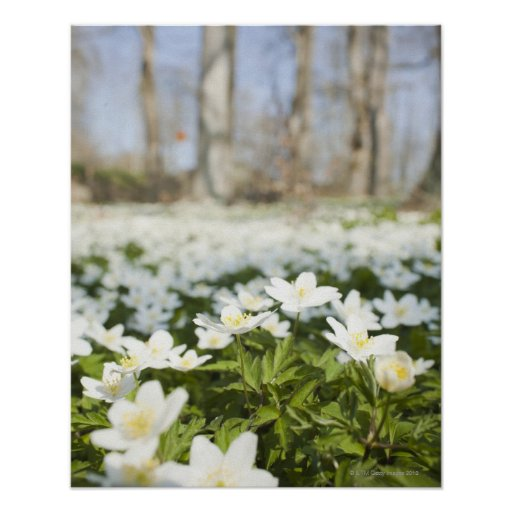 Field of white flowers print