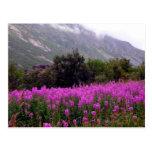 Field of wild flowers near Bodo, Norway Postcards