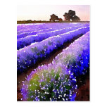 Fields of Lavender Postcard