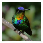 Fiery-throated Hummingbird Poster