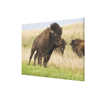 Fiesty young bison bull at the Tallgrass Canvas Print