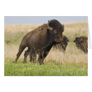Fiesty young bison bull at the Tallgrass Card