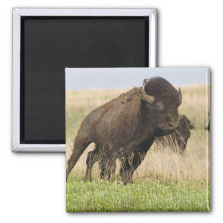 Fiesty young bison bull at the Tallgrass Magnet