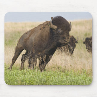 Fiesty young bison bull at the Tallgrass Mouse Pad