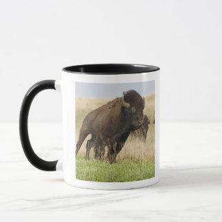 Fiesty young bison bull at the Tallgrass Mug