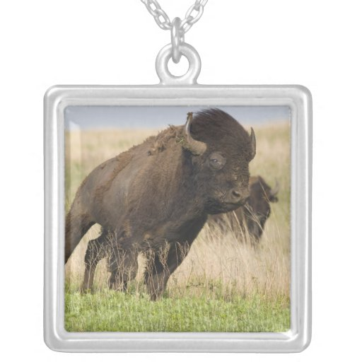 Fiesty young bison bull at the Tallgrass Necklaces