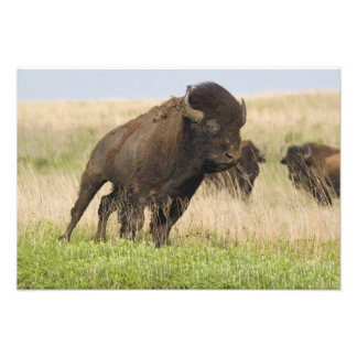 Fiesty young bison bull at the Tallgrass Photo Print