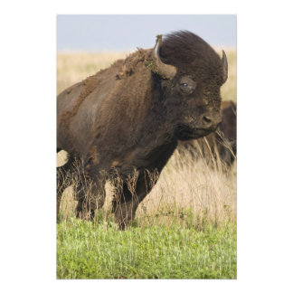 Fiesty young bison bull at the Tallgrass Photo