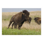 Fiesty young bison bull at the Tallgrass Poster