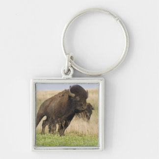 Fiesty young bison bull at the Tallgrass Silver-Colored Square Keychain