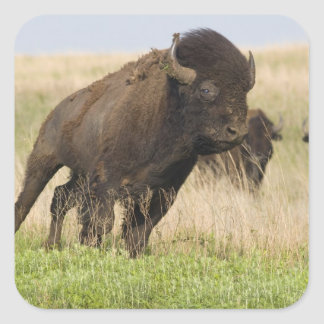 Fiesty young bison bull at the Tallgrass Square Sticker