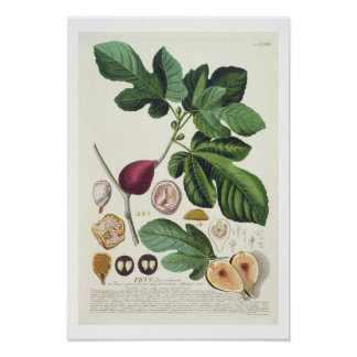 Fig, engraved by Johann Jakob Haid (1704-67) plate Posters