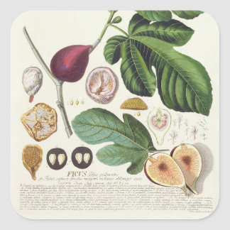 Fig, engraved by Johann Jakob Haid (1704-67) plate Square Sticker