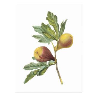 fig(Ficus violacea) by Redouté Postcard