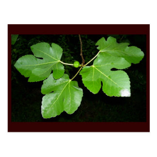 Fig leaves in Spring Texas Postcard