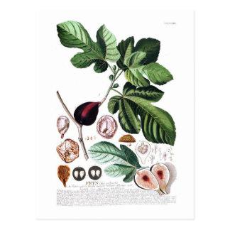Fig Postcard