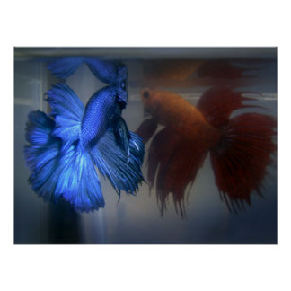 Fighting Fish Poster