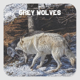 Fighting Grey Wolves Square Sticker