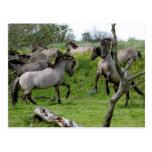 fighting stallions postcard