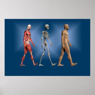 Figura masculina humana con el esqueleto y la musc poster