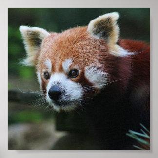 Fijar a Pandas Rojizas 15,24x15,24cm Póster