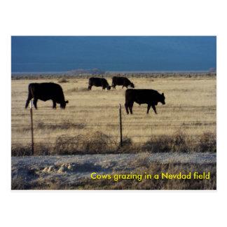 Fije el cad de las vacas que pastan en un campo tarjeta postal
