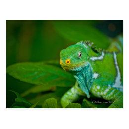 Fiji crested Iguana, Kula Eco Park, Viti Levu, Postcard